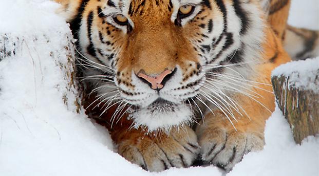 tigras_ziema